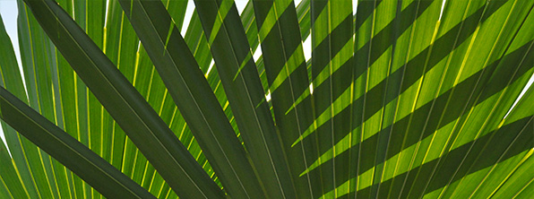 An Amazonian Palm Leaf